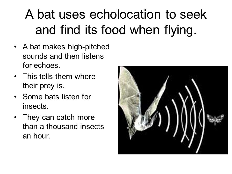 A bat uses echolocation to seek and find its food when flying. A bat makes high-pitched sounds and then listens for echoes. This tells them where thei