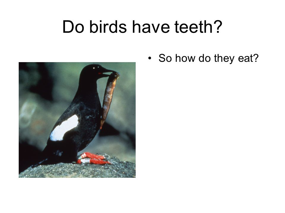Do birds have teeth? So how do they eat?