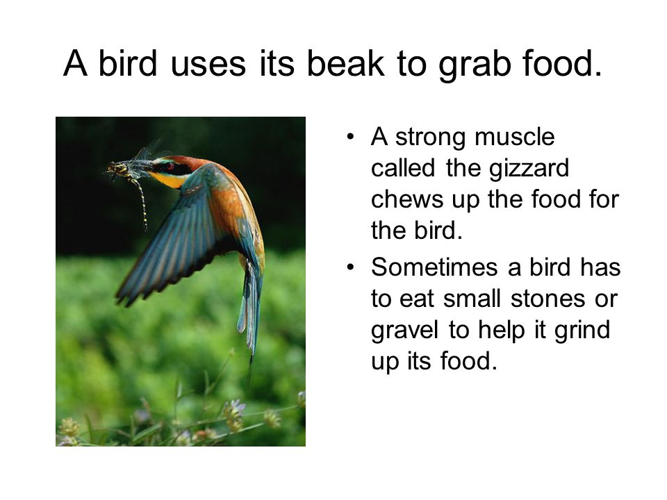 A bird uses its beak to grab food. A strong muscle called the gizzard chews up the food for the bird. Sometimes a bird has to eat small stones or grav