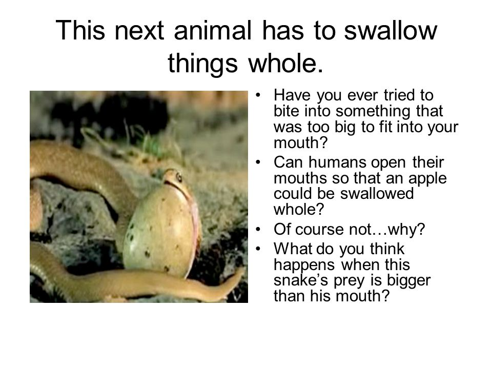 This next animal has to swallow things whole. Have you ever tried to bite into something that was too big to fit into your mouth? Can humans open thei