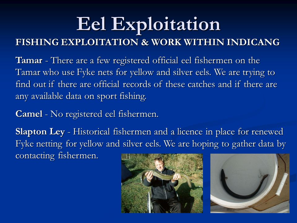 Eel Exploitation FISHING EXPLOITATION & WORK WITHIN INDICANG Tamar - There are a few registered official eel fishermen on the Tamar who use Fyke nets for yellow and silver eels.