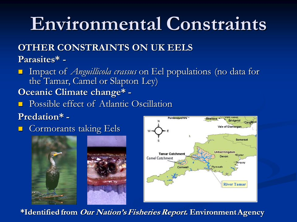 Environmental Constraints Camel Catchment Predation* - Cormorants taking Eels Cormorants taking Eels OTHER CONSTRAINTS ON UK EELS Parasites* - Impact of Anguillicola crassus on Eel populations (no data for the Tamar, Camel or Slapton Ley) Impact of Anguillicola crassus on Eel populations (no data for the Tamar, Camel or Slapton Ley) Oceanic Climate change* - Possible effect of Atlantic Oscillation Possible effect of Atlantic Oscillation *Identified from Our Nation's Fisheries Report.
