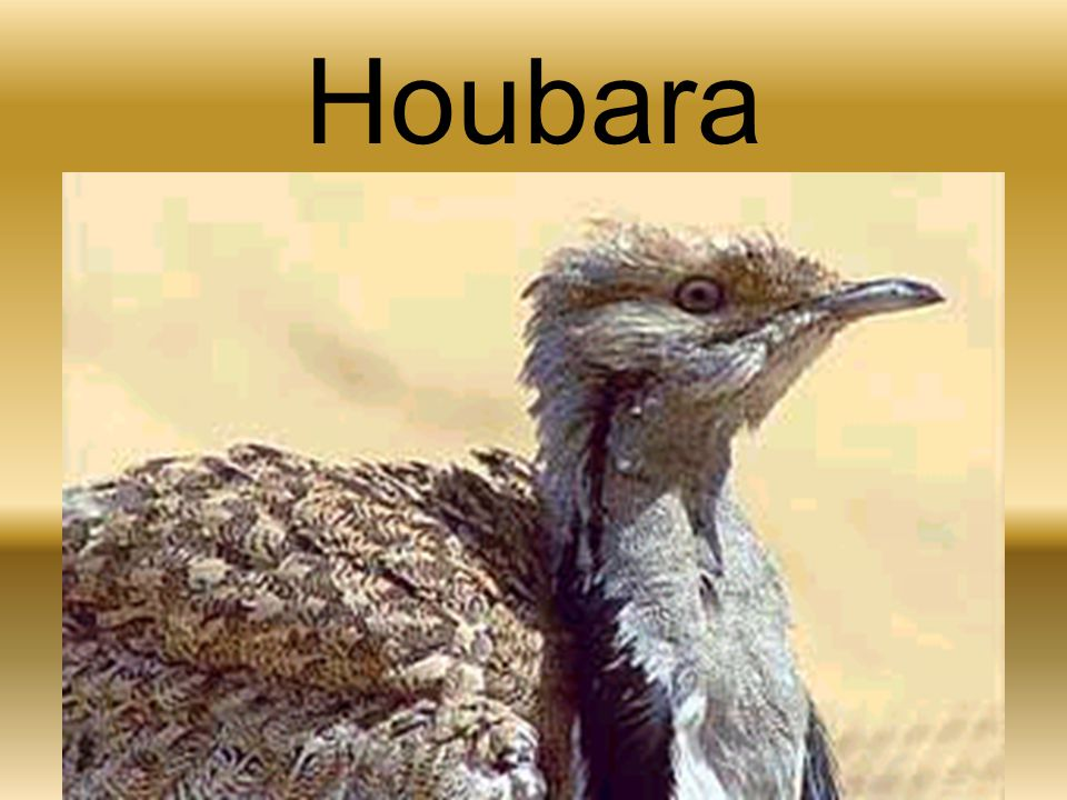Houbara