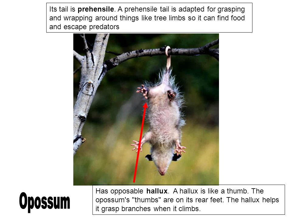 Its tail is prehensile. A prehensile tail is adapted for grasping and wrapping around things like tree limbs so it can find food and escape predators