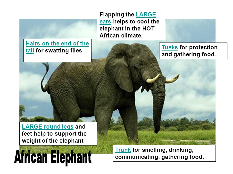Flapping the LARGE ears helps to cool the elephant in the HOT African climate. Tusks for protection and gathering food. Hairs on the end of the tail f