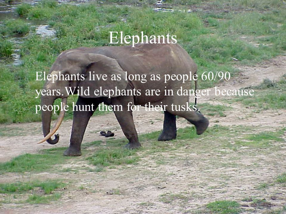 Different types of elephants There are two types of elephants in the world: the Indian elephant and the African elephant.