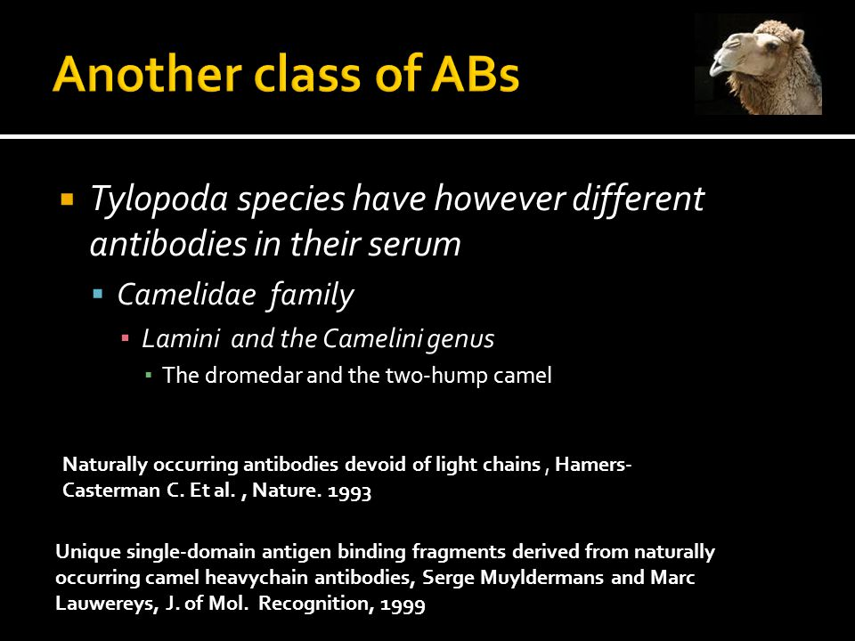  Tylopoda species have however different antibodies in their serum  Camelidae family ▪ Lamini and the Camelini genus ▪ The dromedar and the two-hump camel Unique single-domain antigen binding fragments derived from naturally occurring camel heavychain antibodies, Serge Muyldermans and Marc Lauwereys, J.