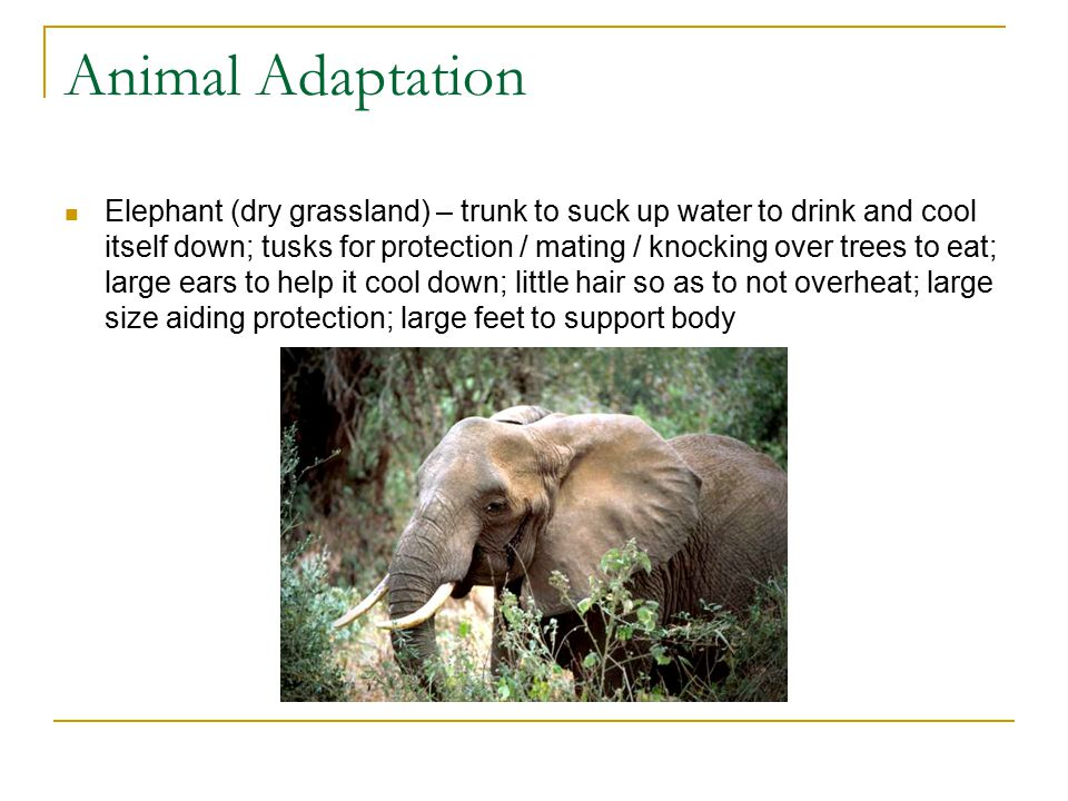 Animal Adaptation Elephant (dry grassland) – trunk to suck up water to drink and cool itself down; tusks for protection / mating / knocking over trees to eat; large ears to help it cool down; little hair so as to not overheat; large size aiding protection; large feet to support body