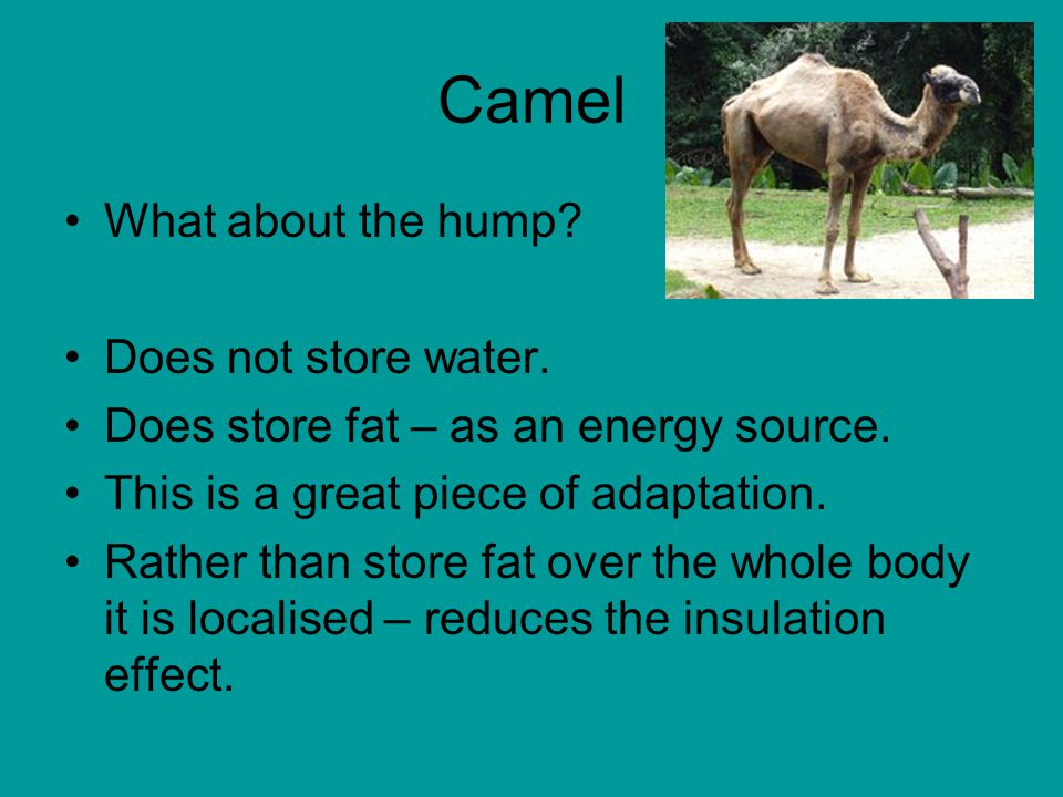Camel What about the hump. Does not store water. Does store fat – as an energy source.