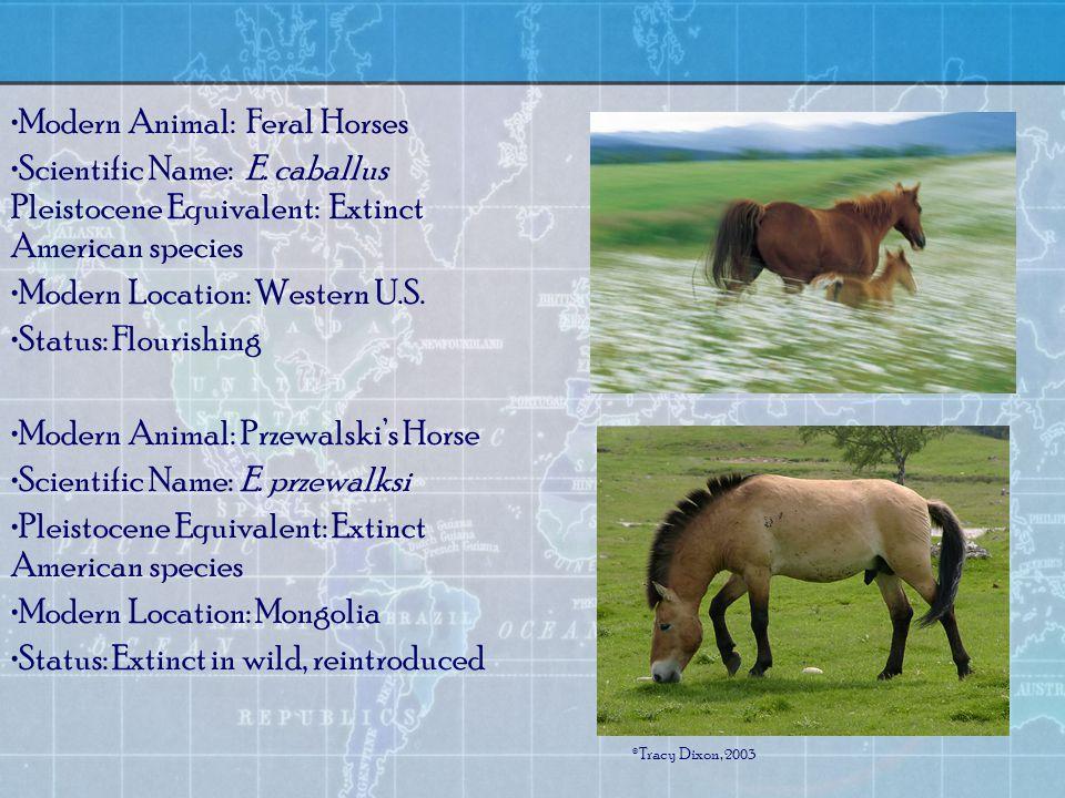 Modern Animal: Feral Horses Scientific Name: E.