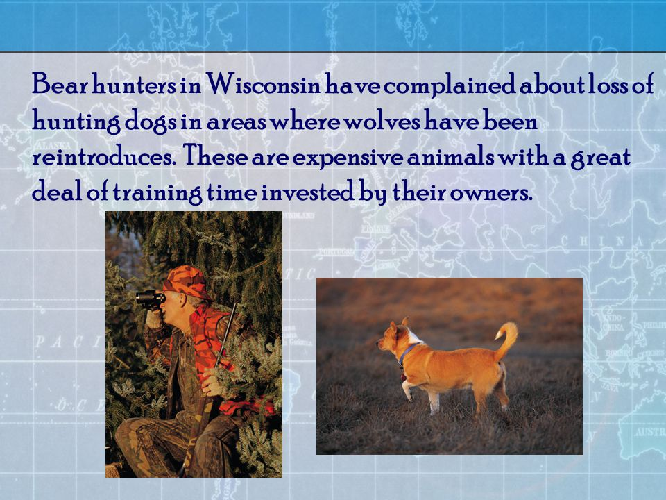 Bear hunters in Wisconsin have complained about loss of hunting dogs in areas where wolves have been reintroduces.