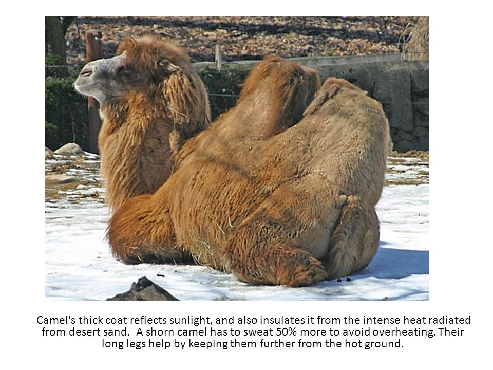 Camel s thick coat reflects sunlight, and also insulates it from the intense heat radiated from desert sand.