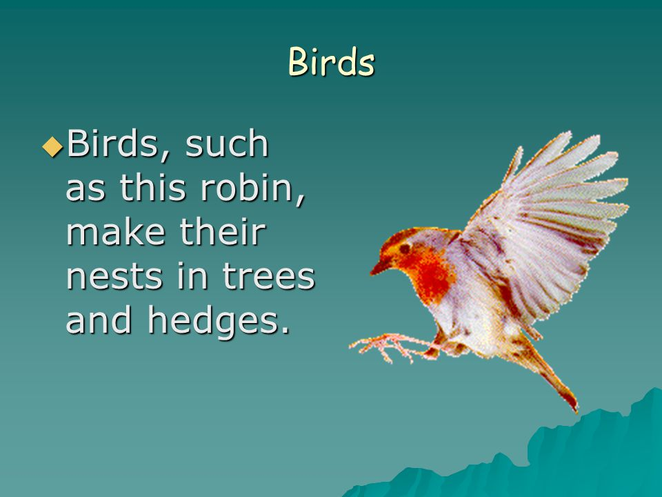 Birds  Birds, such as this robin, make their nests in trees and hedges.