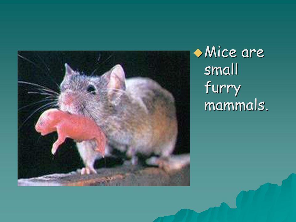  Mice are small furry mammals.