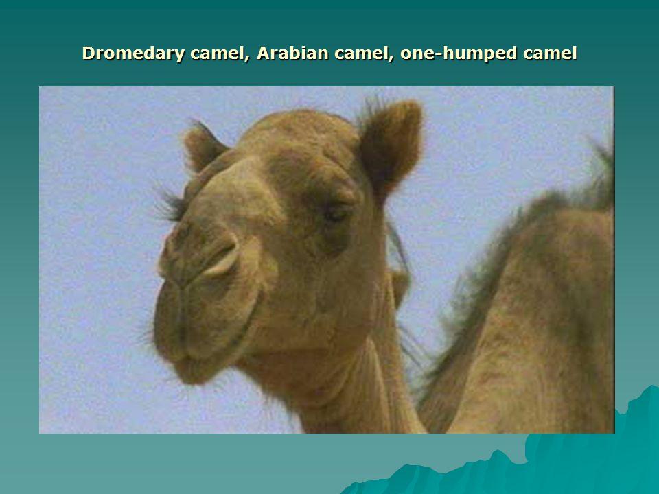 Dromedary camel, Arabian camel, one-humped camel