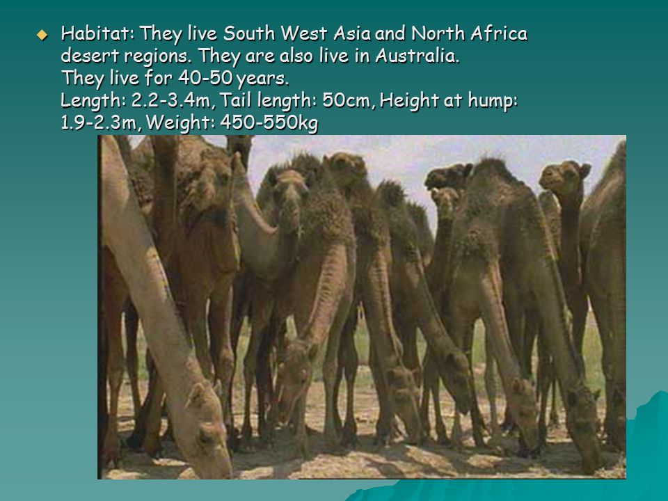  Habitat: They live South West Asia and North Africa desert regions.