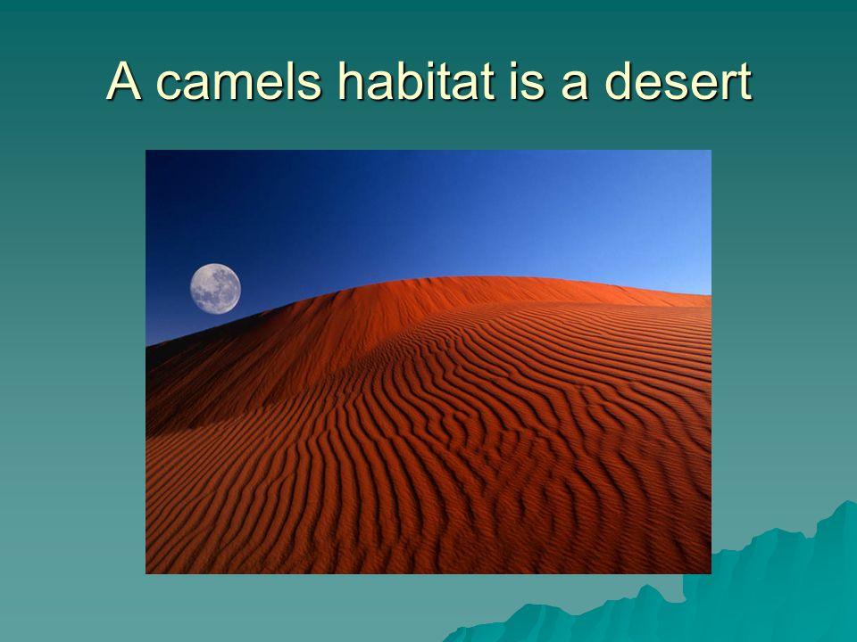 A camels habitat is a desert