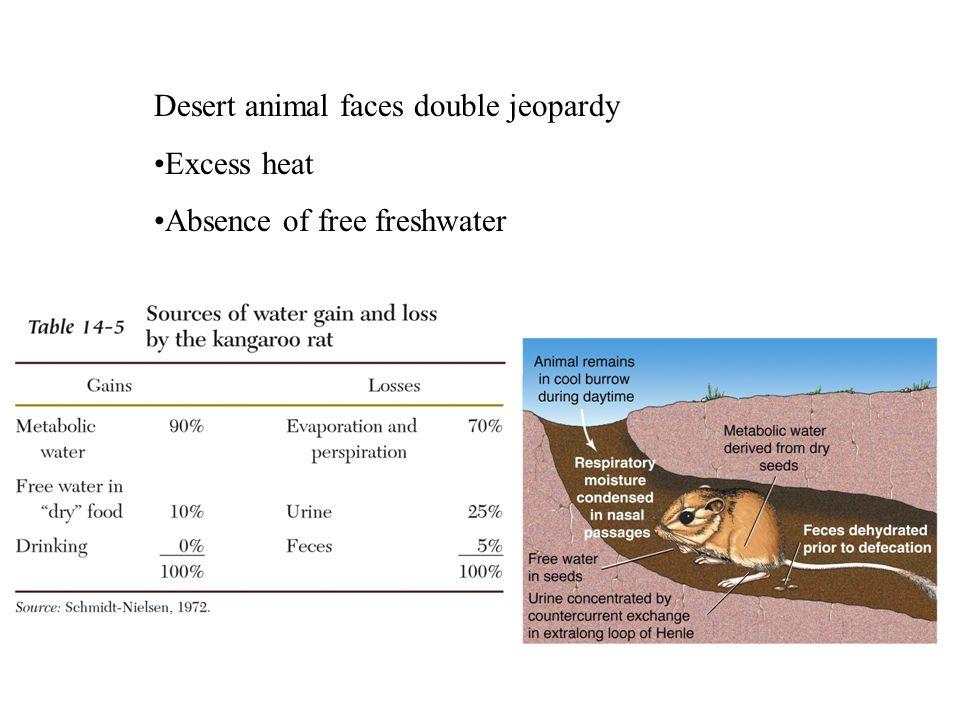 Desert animal faces double jeopardy Excess heat Absence of free freshwater