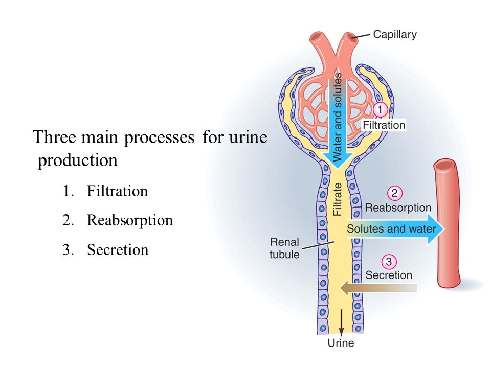 Three main processes for urine production 1.Filtration 2.Reabsorption 3.Secretion