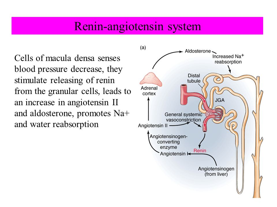 Renin-angiotensin system Cells of macula densa senses blood pressure decrease, they stimulate releasing of renin from the granular cells, leads to an