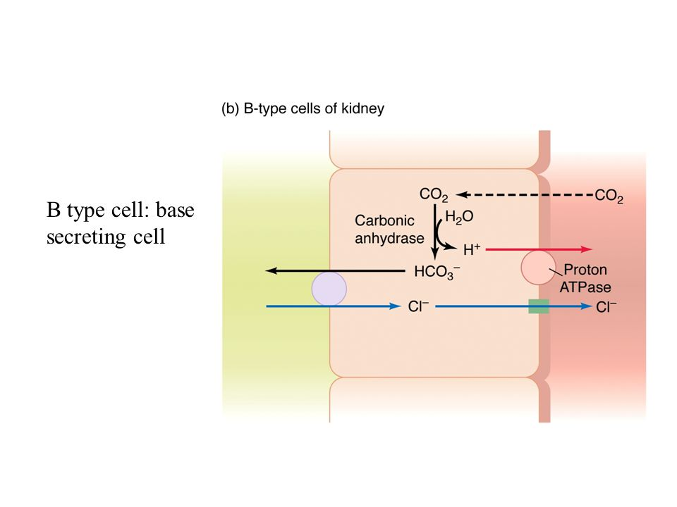 B type cell: base secreting cell