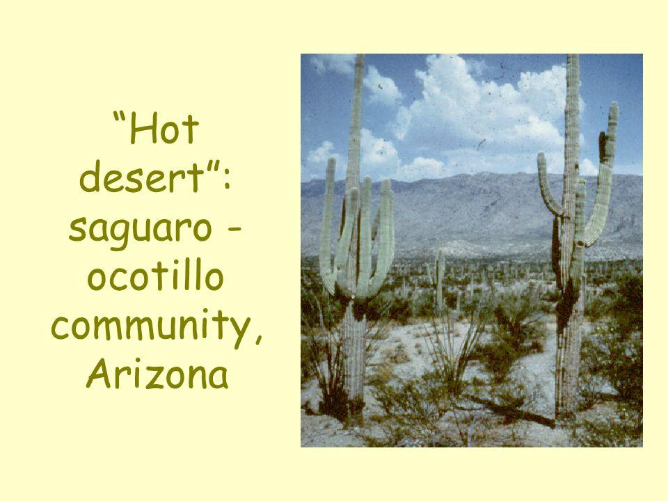 """Hot desert"": saguaro - ocotillo community, Arizona"