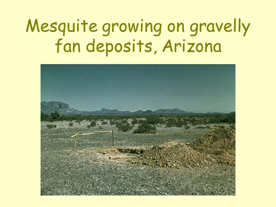 Mesquite growing on gravelly fan deposits, Arizona