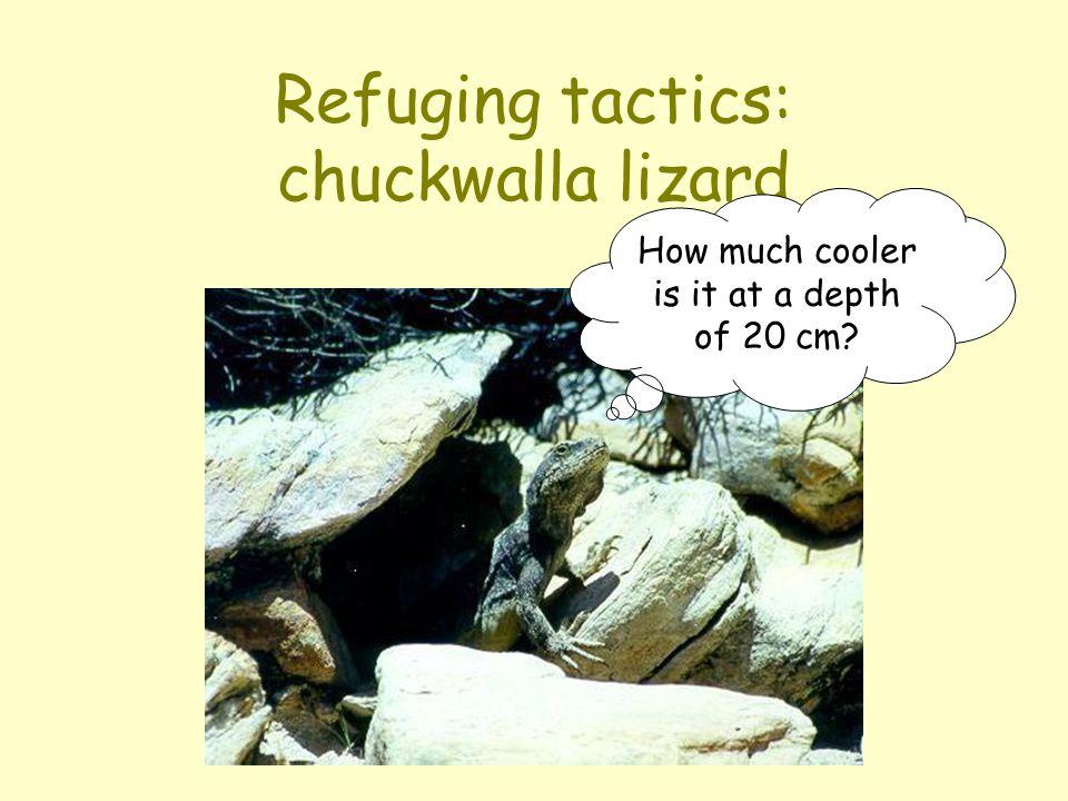 Refuging tactics: chuckwalla lizard How much cooler is it at a depth of 20 cm?