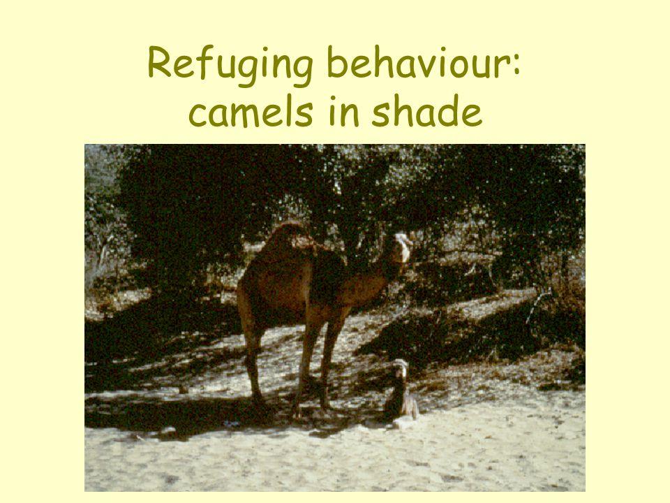 Refuging behaviour: camels in shade