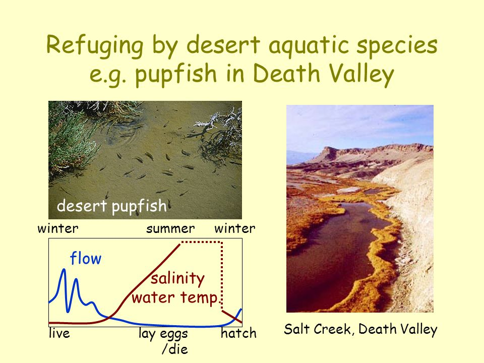 Refuging by desert aquatic species e.g. pupfish in Death Valley flow salinity water temp. winter summer winter desert pupfish Salt Creek, Death Valley