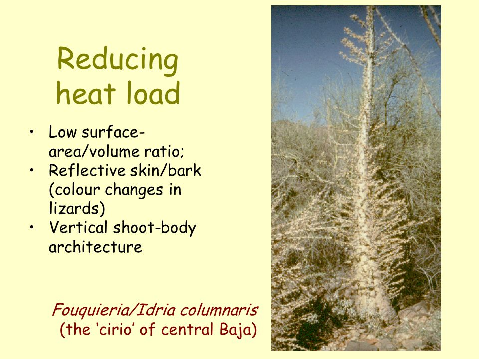 Reducing heat load Low surface- area/volume ratio; Reflective skin/bark (colour changes in lizards) Vertical shoot-body architecture Fouquieria/Idria
