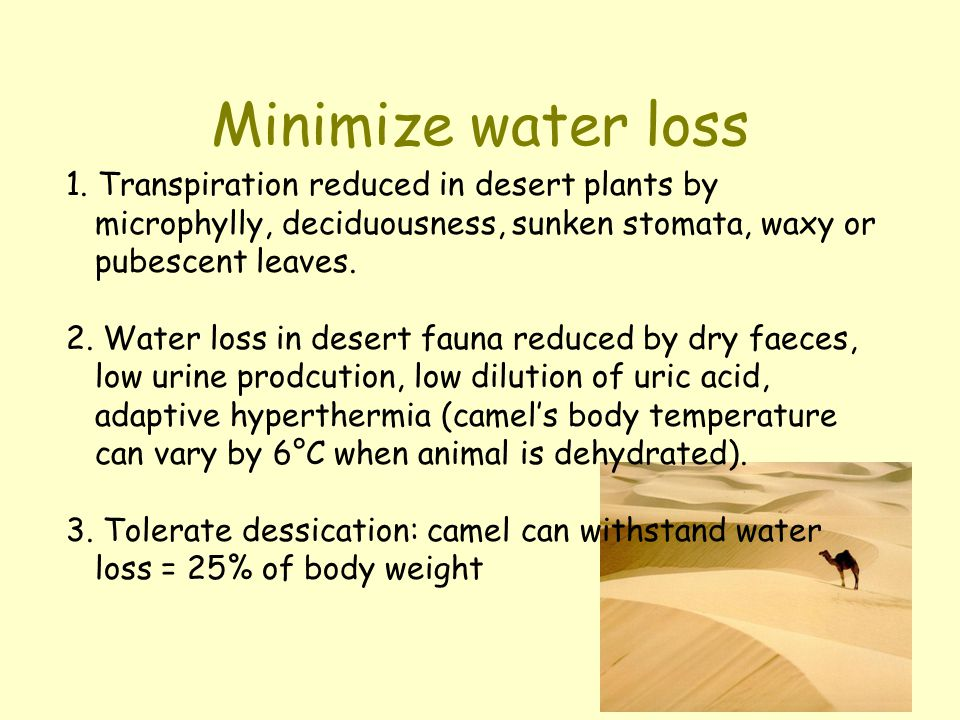 Minimize water loss 1. Transpiration reduced in desert plants by microphylly, deciduousness, sunken stomata, waxy or pubescent leaves. 2. Water loss i