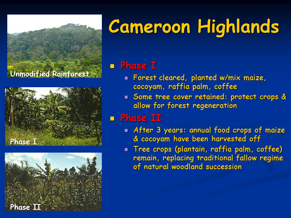 Cameroon Highlands Phase I Phase I Forest cleared, planted w/mix maize, cocoyam, raffia palm, coffee Forest cleared, planted w/mix maize, cocoyam, raffia palm, coffee Some tree cover retained: protect crops & allow for forest regeneration Some tree cover retained: protect crops & allow for forest regeneration Phase II Phase II After 3 years: annual food crops of maize & cocoyam have been harvested off After 3 years: annual food crops of maize & cocoyam have been harvested off Tree crops (plantain, raffia palm, coffee) remain, replacing traditional fallow regime of natural woodland succession Tree crops (plantain, raffia palm, coffee) remain, replacing traditional fallow regime of natural woodland succession Unmodified Rainforest Phase II Phase I