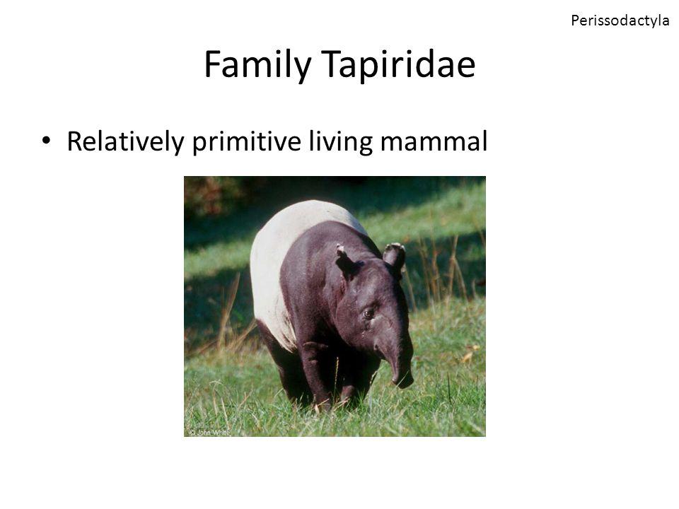 Family Tapiridae Relatively primitive living mammal Perissodactyla