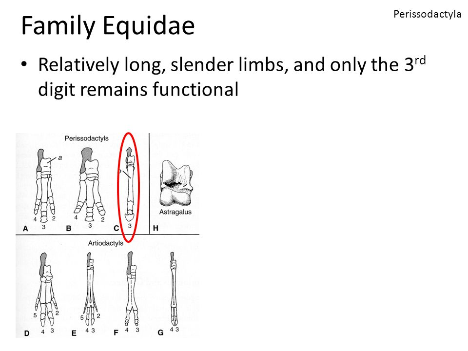 Family Equidae Relatively long, slender limbs, and only the 3 rd digit remains functional Perissodactyla