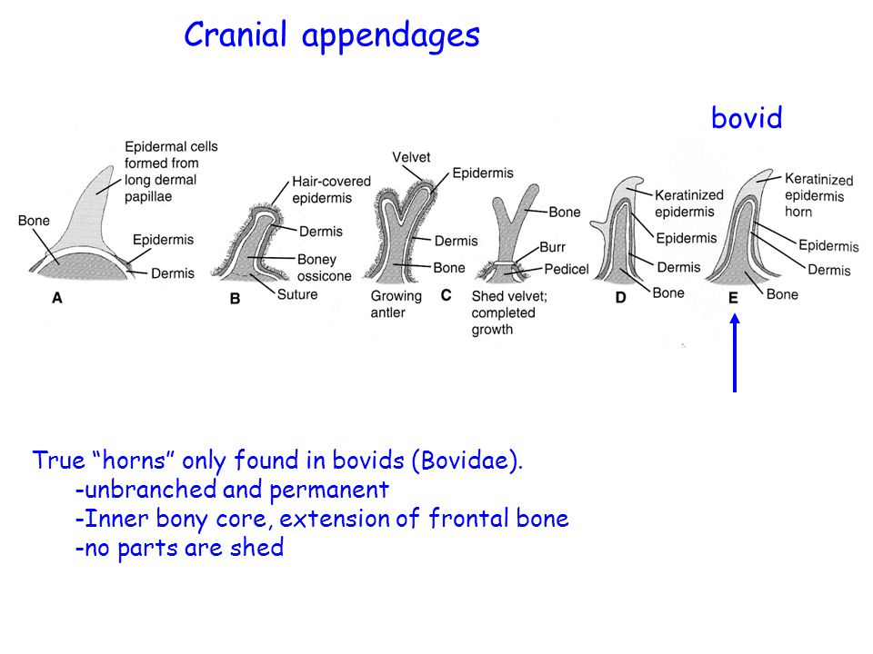 bovid True horns only found in bovids (Bovidae).