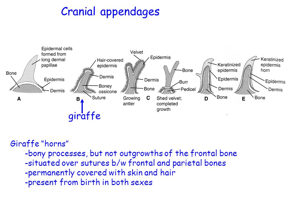 giraffe Cranial appendages Giraffe horns -bony processes, but not outgrowths of the frontal bone -situated over sutures b/w frontal and parietal bones -permanently covered with skin and hair -present from birth in both sexes