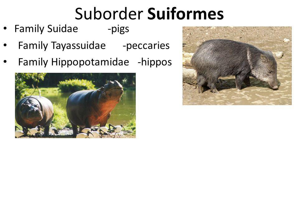 Suborder Suiformes Family Suidae-pigs Family Tayassuidae -peccaries Family Hippopotamidae-hippos