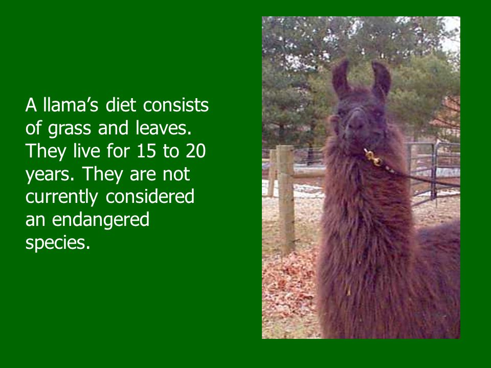 Llamas often live in herds and spend most of their time grazing.