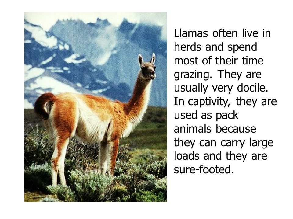 Llamas often live in herds and spend most of their time grazing. They are usually very docile. In captivity, they are used as pack animals because the