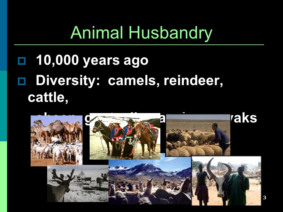 3 Animal Husbandry  10,000 years ago  Diversity: camels, reindeer, cattle, sheep, goats, llama, alpaca, yaks