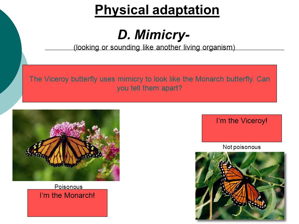 D. Mimicry- (looking or sounding like another living organism) The Viceroy butterfly uses mimicry to look like the Monarch butterfly. Can you tell the