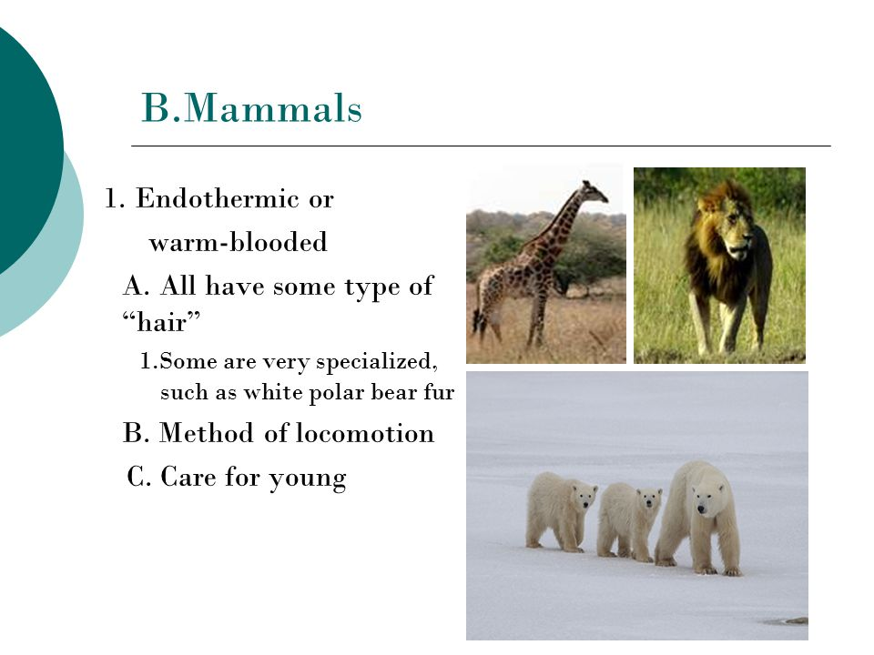 B.Mammals 1. Endothermic or warm-blooded A.