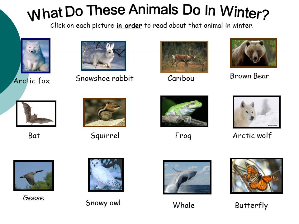 Arctic fox Snowshoe rabbit Caribou Brown Bear BatSquirrelFrogArctic wolf Geese Whale Snowy owl Butterfly Click on each picture in order to read about that animal in winter.