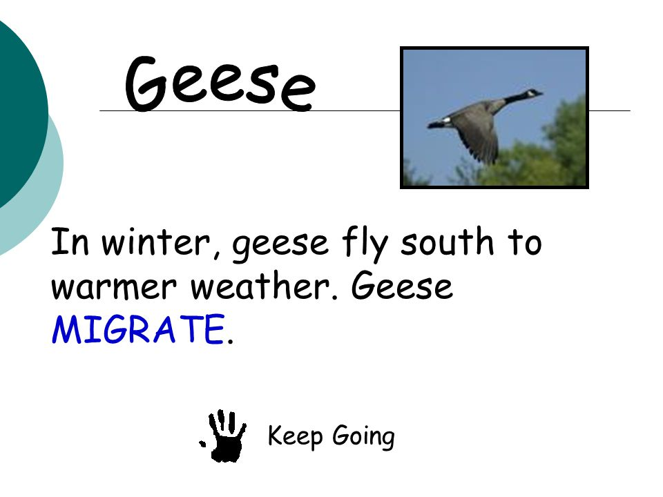 In winter, geese fly south to warmer weather. Geese MIGRATE. Keep Going