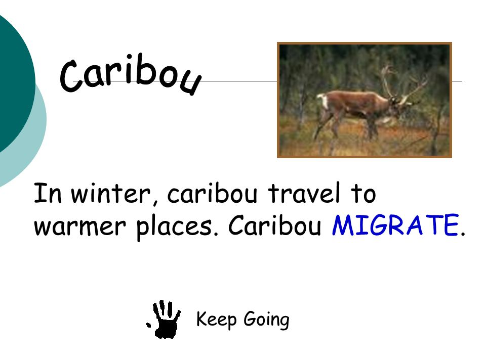 In winter, caribou travel to warmer places. Caribou MIGRATE. Keep Going