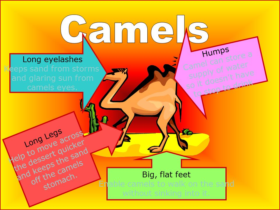 Big, flat feet Enable camels to walk on the sand without sinking into it.