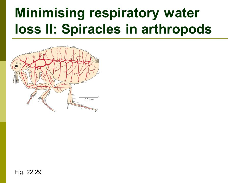 Minimising respiratory water loss II: Spiracles in arthropods Fig. 22.29