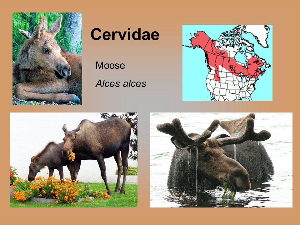 Cervidae Moose Alces alces