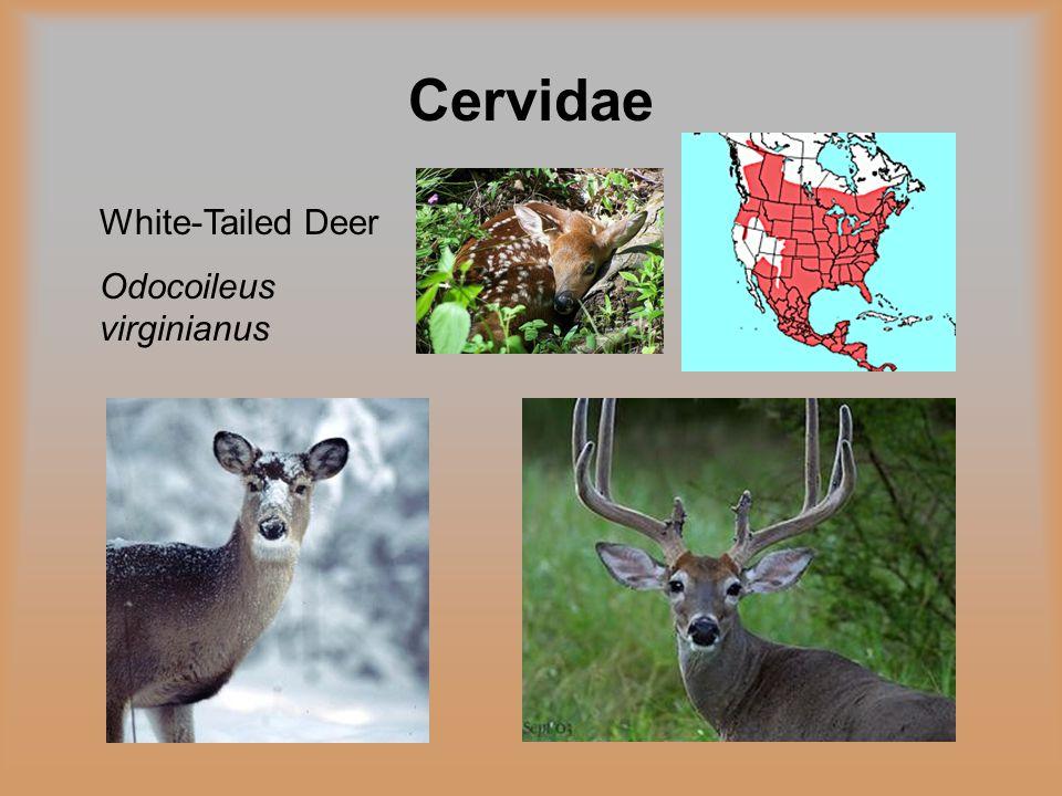 Cervidae White-Tailed Deer Odocoileus virginianus